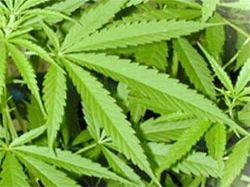 Pěstuju marihuanu, ale nejsem dealer!
