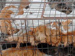 Kočky v přepravce na Čínských jatkách