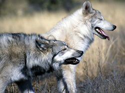 Dva vlci v n�s