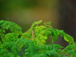 Moringa, bylina třetího tisíciletí